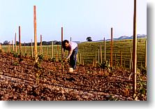 Gino staking the new vineyard