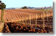 Special irrigation trenches for the young vines. Later it will be dry-farmed.